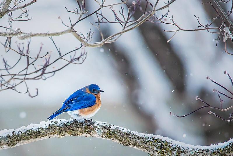 44-366 Bluebird in the Snow