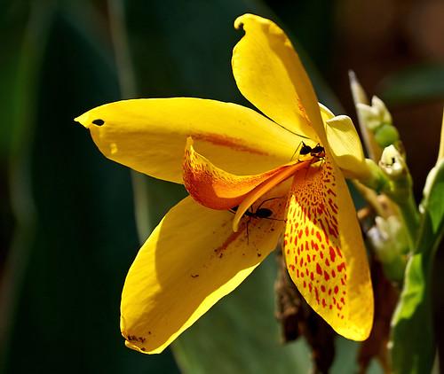 iris orange india plant flower yellow gardens petals pattern ant goa insects ants bloom bondla bondlawildlifesanctuary