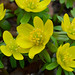 Eranthis -- yellow bloomers! by mfophotos