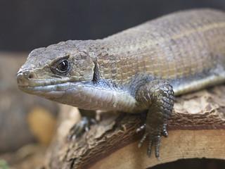 Sudan plated lizard reptile Brevard Zoo Fla. Florida