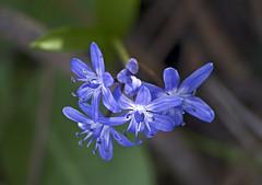 Пролеска двулистная / Scilla bifolia / Alpine Squill / Синчец (Обикновен синчец, Двулистен синчец) / Zweiblättrige Blaustern