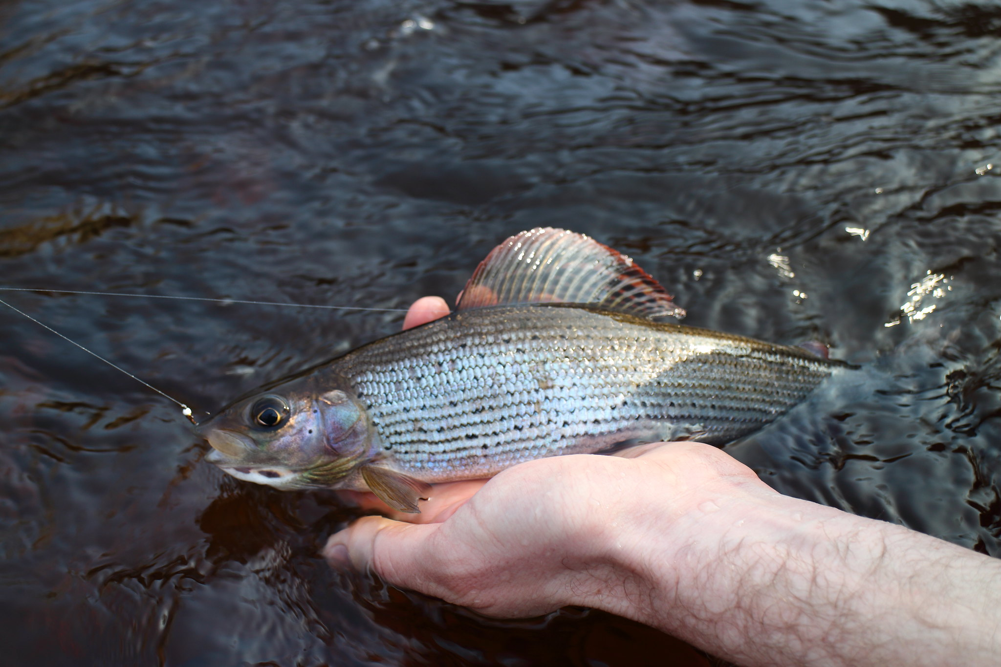 First Grayling Of The Day