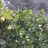 Pompelmi. #CMGiardinaggio @CMViaggi #CMViaggi Alla Villa Monastero di Varenna. Primavarenna. E pubblicherò su @CMRicette mie foto con agrumi? Su CMViaggi, invece, numerose foto nei dintorni. Anche su Twitter e Facebook. #Pompelmi #Frutta #Agrumi #Giardini