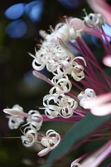 Flower from the Jardin de Balata  (Martinique)