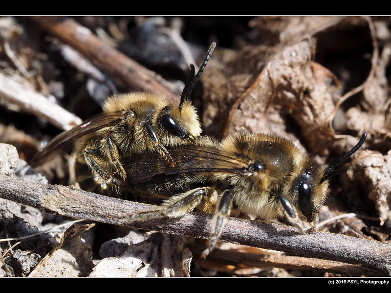 Mating Cellophane bees (Colletes sp.)