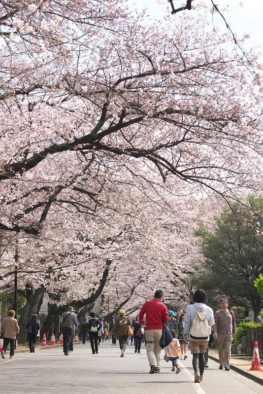 東京路地裏散歩 谷中の桜 2016年3月31日