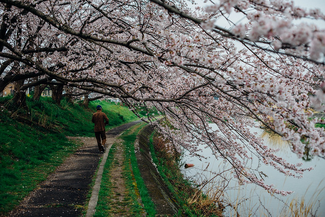 CherryBlossoms_57