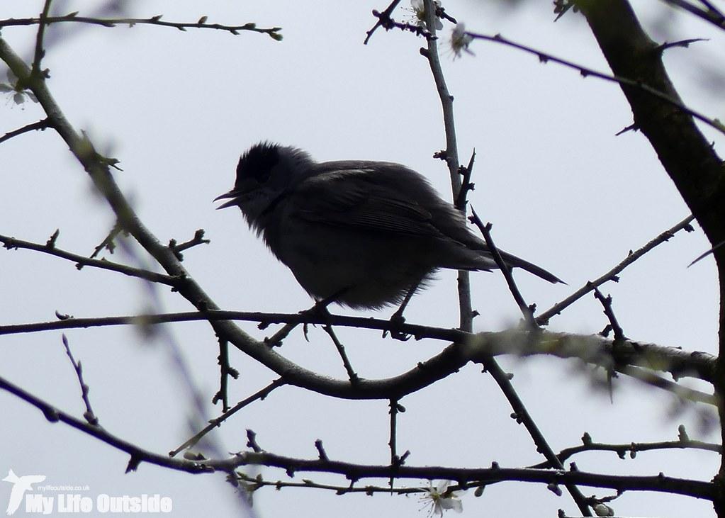 P1000836 - Blackcap, Wye Valley