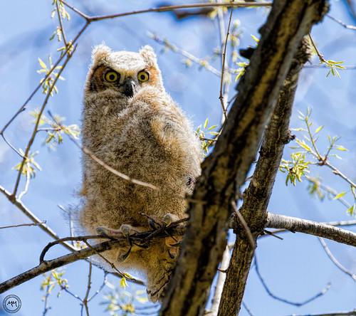 Fledged Owl