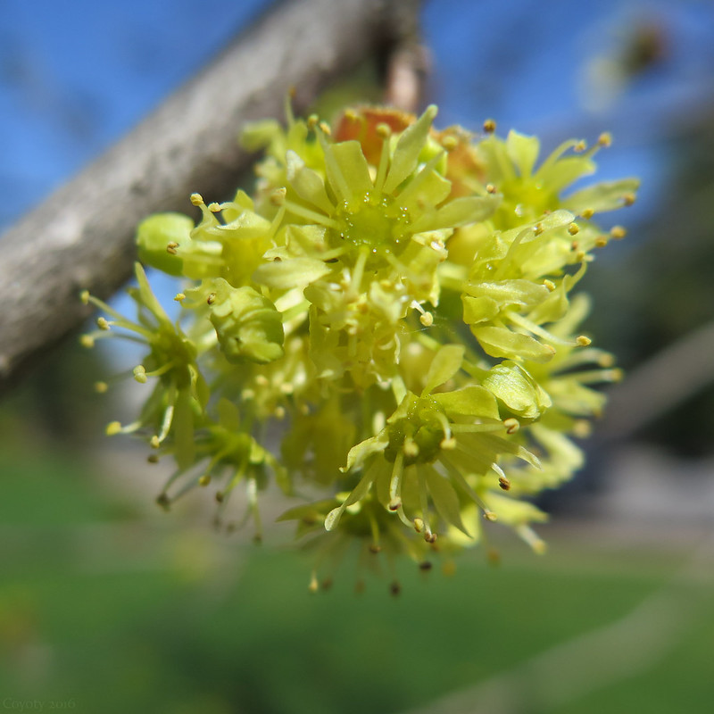 Not yet maple blossoms