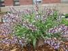 Sage Blooming