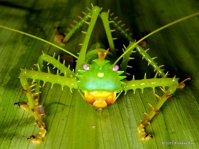 Spiny devil katydid, Panacanthus cuspidatus