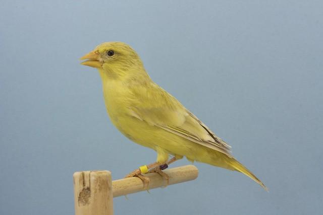 Verderona ágata pastel pico amarillo