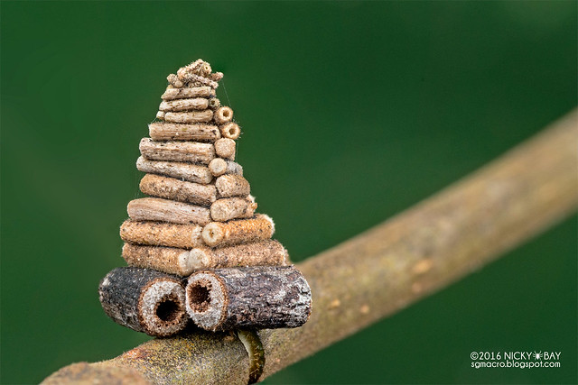 Bagworm moth pupa (Psychidae) - DSC_2156