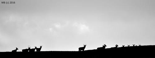 winter red male nature monochrome animal silhouette mammal blackwhite stag outdoor deer bika cervus tél elaphus rothirsch tolna gímszarvas emlős regöly