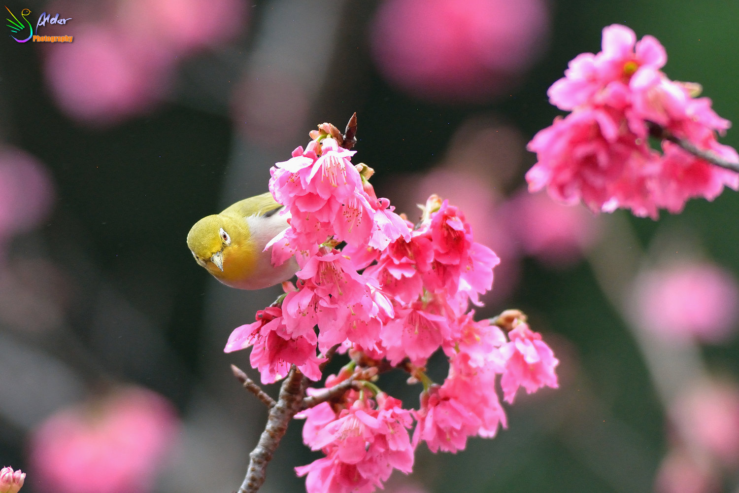 Sakura_White-eye_5794