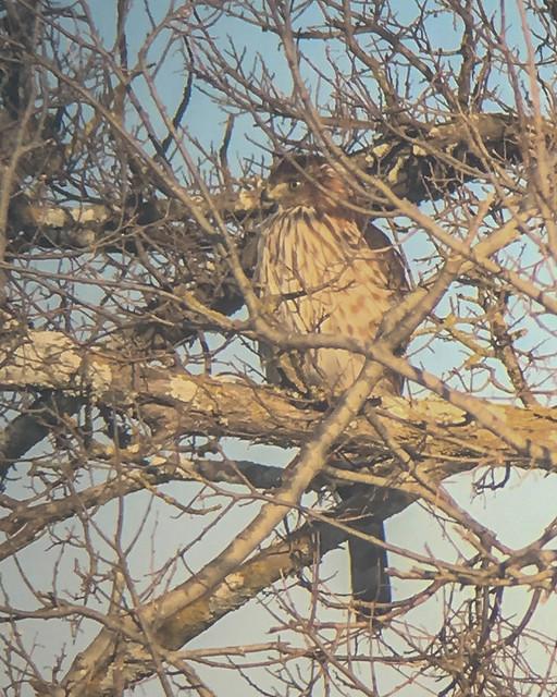 Juvenile Cooper's Hawk