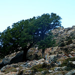 Ikaria's remotest hinterland 04 - trees at trail 1