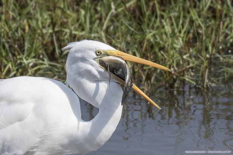 大白鷺 Egretta alba@鰲鼓溼地