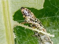 Mango leaf webber (Caterpillar)