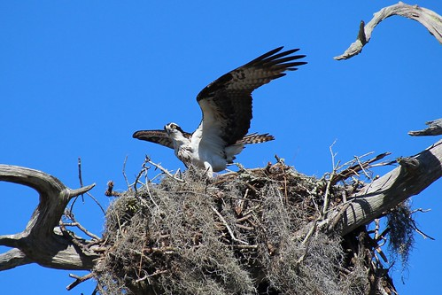 IMG_7013a_Osprey_on_Nest_at_Anclote_Beach