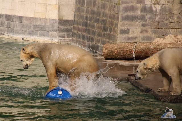 Eisbär Fiete im Zoo Rostock 20.03.2016  096