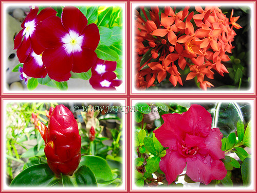 The fiery reds (Periwinkle 'Pacifica XP Really Red', Dwarf Red Ixora, Azalea simsii and Red Button Ginger) at our front yard, Feb 14 2016