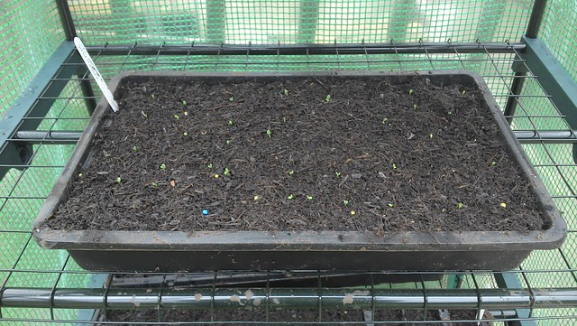 First seedlings of this season