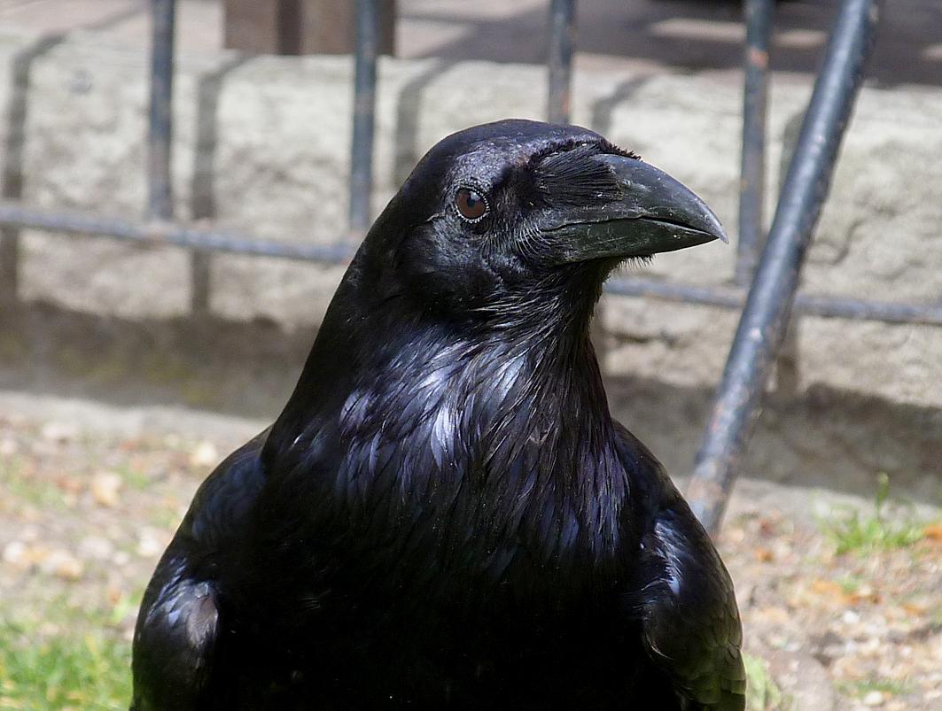 ToL Raven