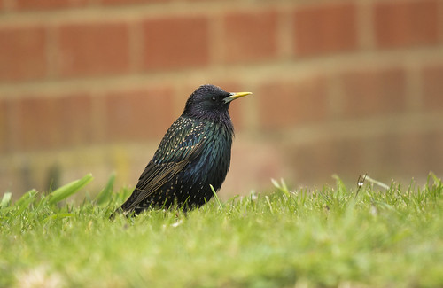 Starling, Langford, 10th April 2016