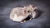 Hamster by CappyFoto