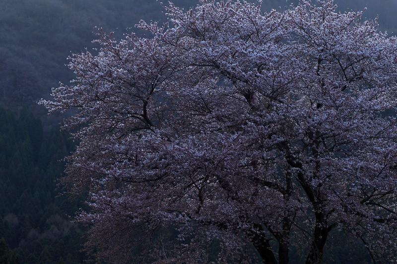 蒼白き桜 #3_2016-04