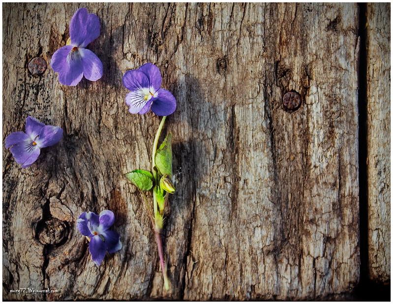 ...woodland violets