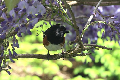 Towhee in the wisteria
