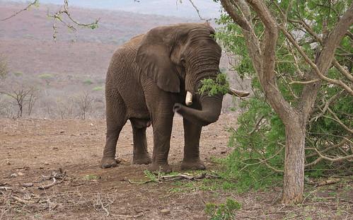 elephant southafrica africanelephant gamedrive loxodontaafricana lx100 mavelagamelodge zululandrhinoreserve