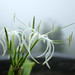Small photo of Water droplets on white Seashore lily, Crinum asiaticum