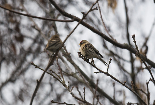 Mealy Redpoll, Broom GP, 20th Jan 2016