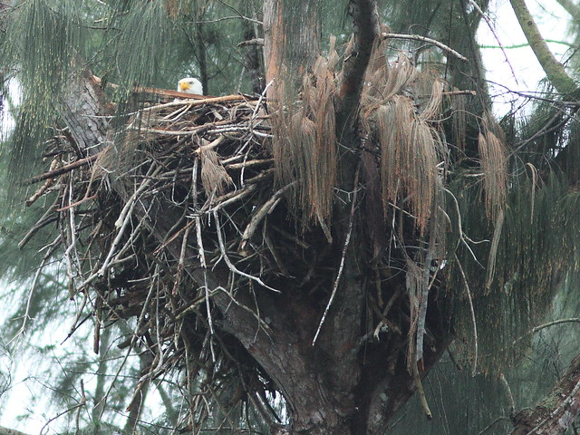 Bald Eagle female after storm 20160117