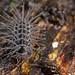Spiny terrestrial isopod (Calmanesia sp.) (1) by pbertner