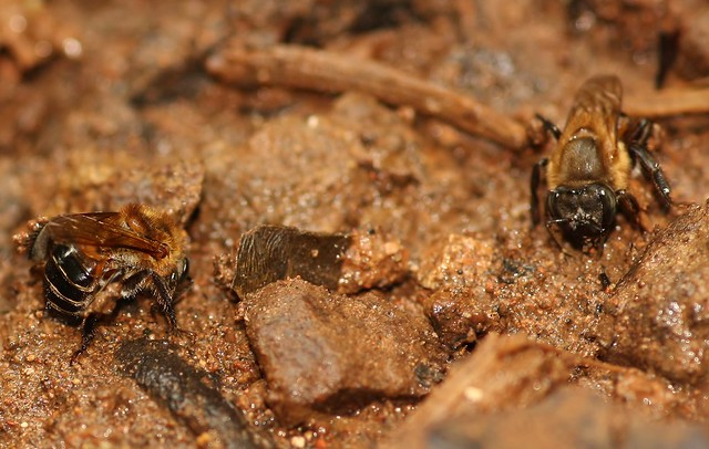 Bees collecting mud