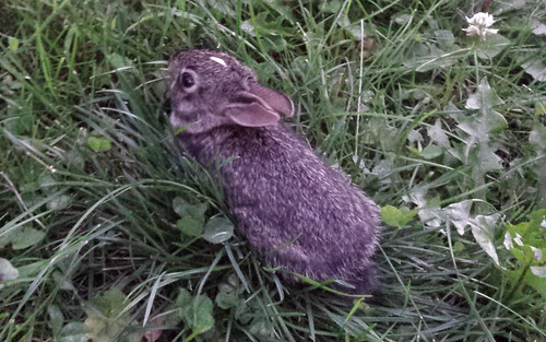 small rabbit hunkered down low in the grass