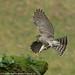 27th February 2016 Sparrowhawk Female by Alan McFadyen