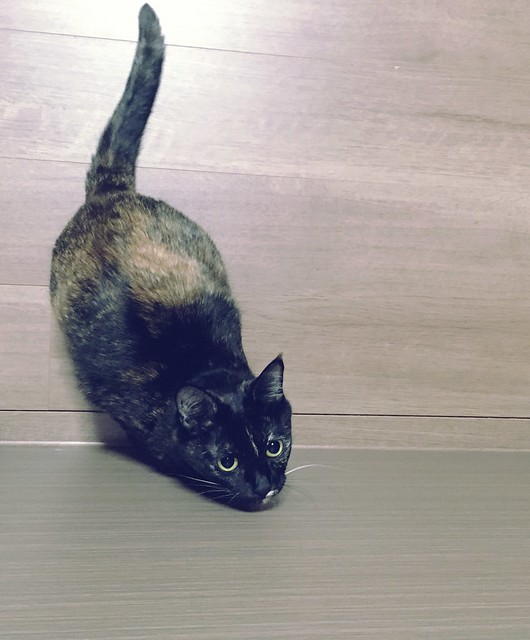ジャンプ寸前😼 #cat #cats #catsofinstagram #catstagram #instacat #instagramcats #neko #nekostagram #猫 #ねこ #ネコ# #ネコ部 #猫部 #ぬこ #にゃんこ #ふわもこ部