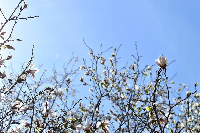 コブシ Kobushi magnolia