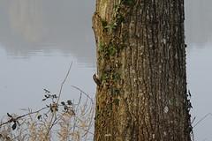 grimpereau des jardins - Photo of Juvigné