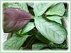 Ctenanthe burle-marxii 'Amagris' (Ctenanthe Amagris, Fishbone Prayer Plant)