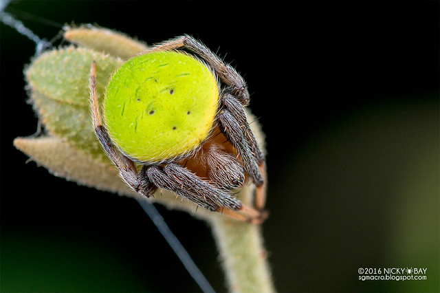 Orb weaver spider (Neoscona sp.) - DSC_7257