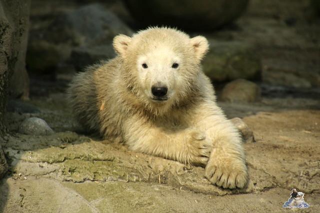Eisbär Lili im Zoo am Meer Bremerhaven 09.04.2016 Teil 1  053