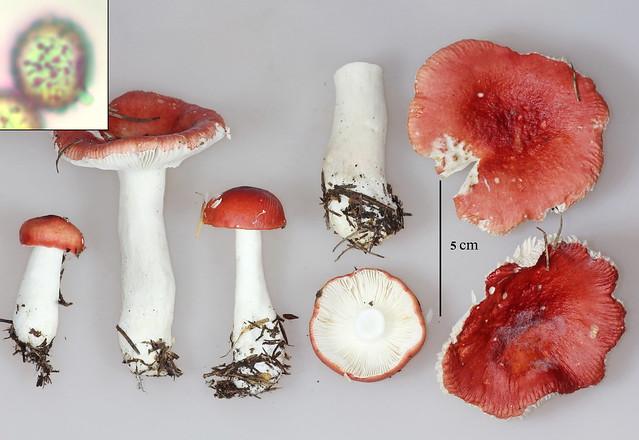 Russula grisescens