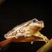 Spring Peeper (Pseudacris crucifer) -  male perched on reed